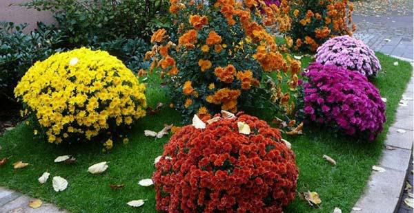 хризантемы садовые посадка
