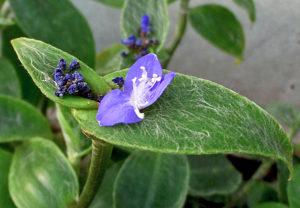 цветок зебрина