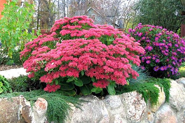 растения для рокария очиток