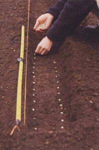 мальва многолетняя посев семян в грунт