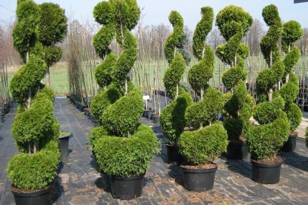 хвойные растения для рокария