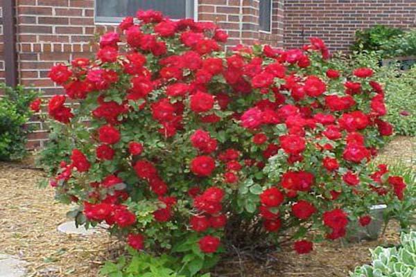 лучшие сорта зимостойких роз