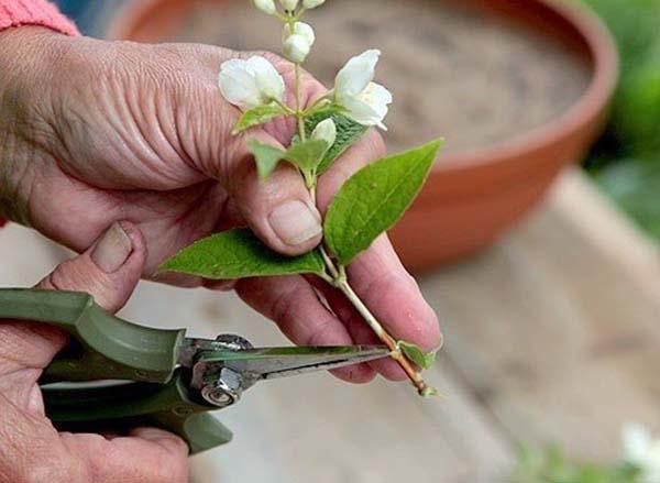чубушник венечный размножение