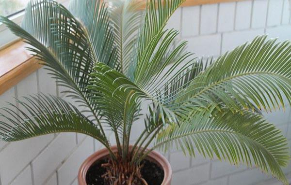 Уход за пальмой в домашних условиях (комнатной пальмой)