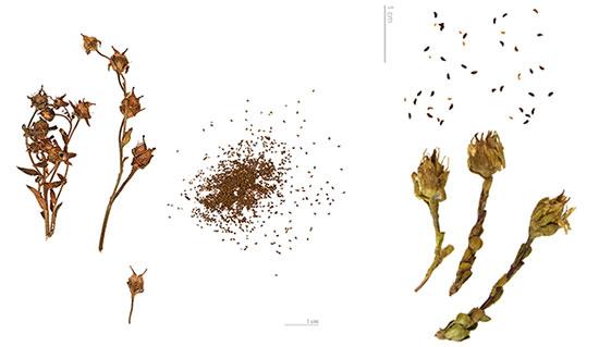 камнеломка семена