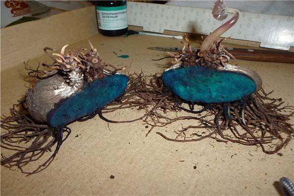 размножение цикламена клубнем
