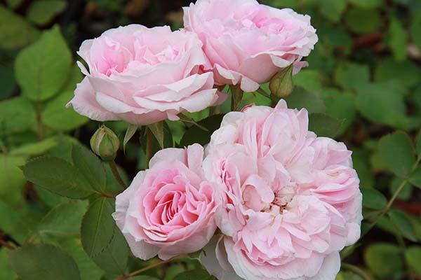 канадские розы сорта