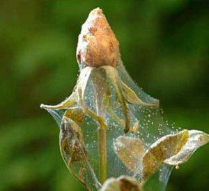 вредители роз паутинный клещ