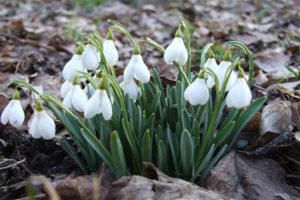 растения для рокария цветы