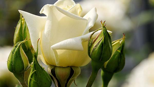 белые розы значение