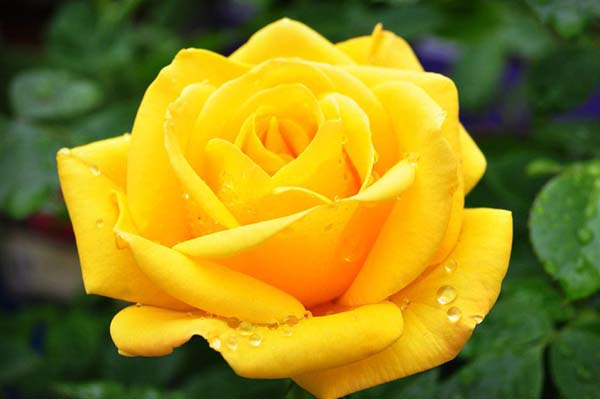 желтая роза значение