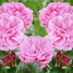 роза канадская сорта