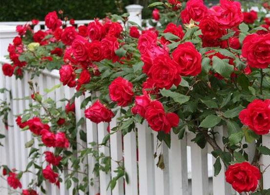 удобрения для роз для длительного цветения