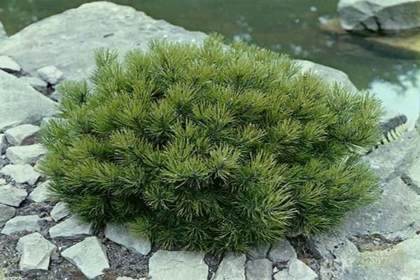 растения для рокария хвойные