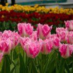 тюльпаны после цветения