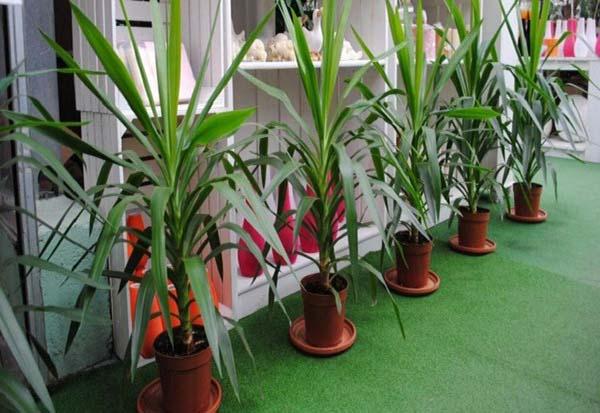 Условия для выращивания юкка 582