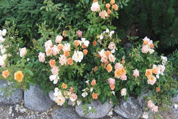 зимостйкие розы, почвопокровные
