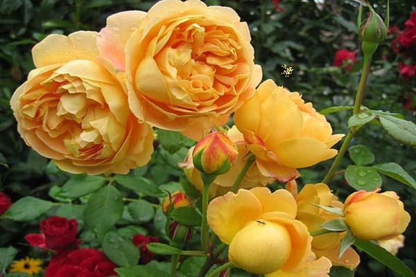розы для подмосковья зимостойкие сорта
