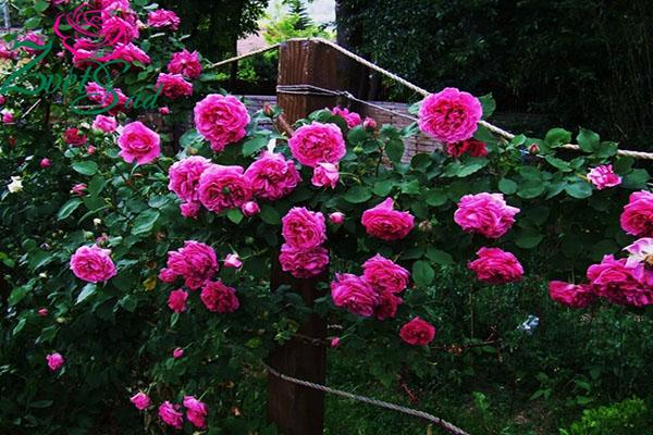 ароматные сорта роз