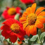 титония цветок