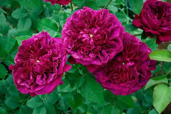 зимостойкие сорта роз, розы остина