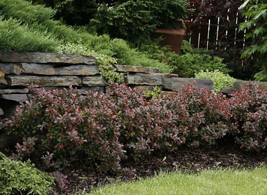 кустарники с красными листьями барбарис