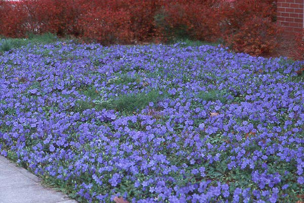 цветок барвинок садовый