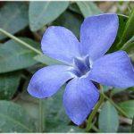 барвинок цветок