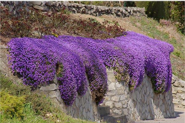 цветок барвинок в ландшафте