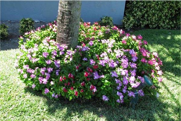 барвинок садовый