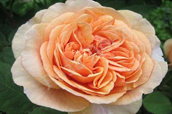зимостойкие сорта роз для Подмосковья