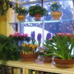 комнатные цветы на окнах