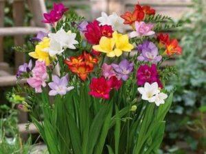 садовые луковичные многолетники