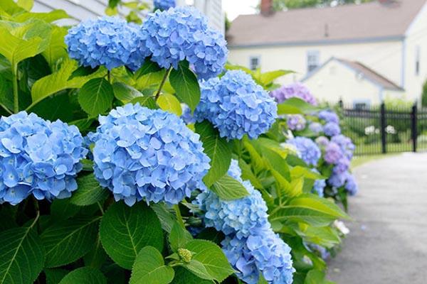 как изменить цвет гортензии на голубой