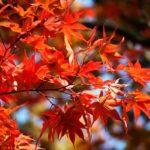 кустарники с красными листьями