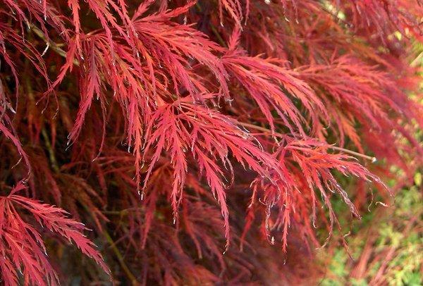 кустарники с красными листьями клен