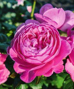 ароматные и душистые сорта роз