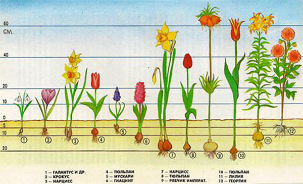 садовые луковичные цветы