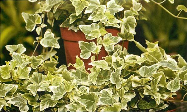 какие растение очищают воздух в квартире