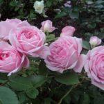 розы канадские парковые