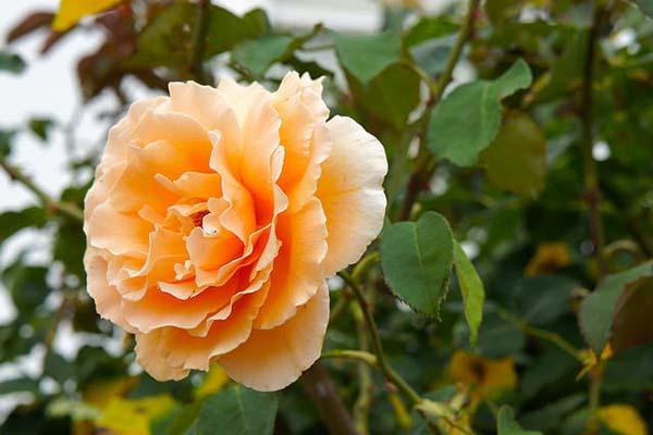 роза канадская парковая
