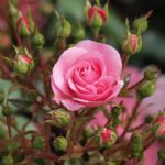 чем полить розы для роста