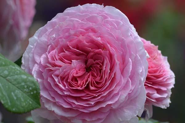 розы для подмосковья зимостойкие