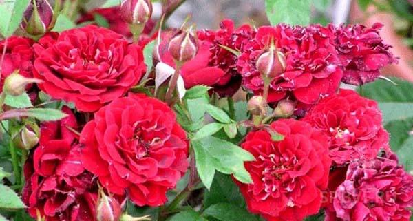 роза канадская парковая сорта