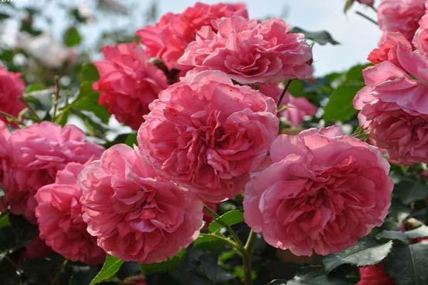 зимостойкие розы плетистые