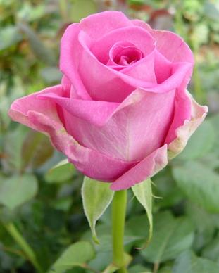 роза аква фото и описание