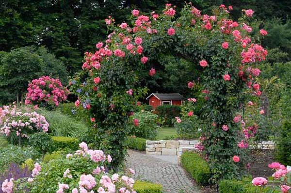 как поливать розы садовые