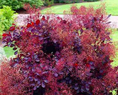 кустарники красного цвета скумпия