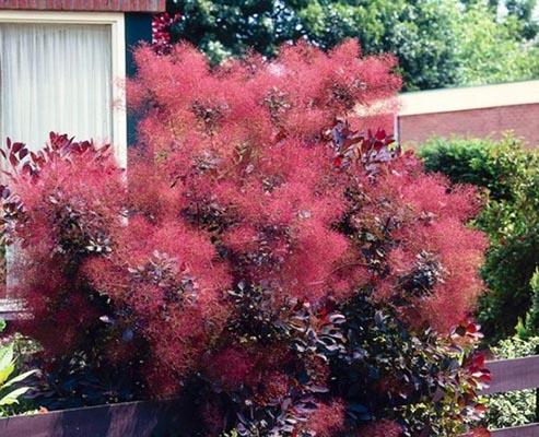 кустарники с красными листьями скумпия