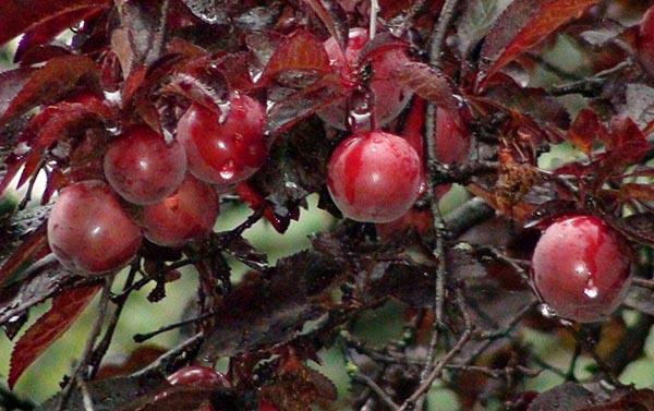 кустарники красного цвета